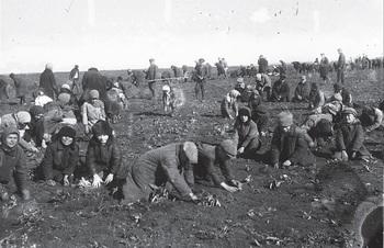 Дети на колхозном поле собирают мерзлую картошку, с1933 год..jpg