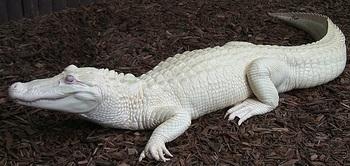 white Alligator.jpg
